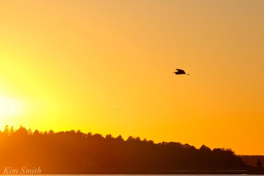 great-blue-heron-sunset-copyright-kim-smith