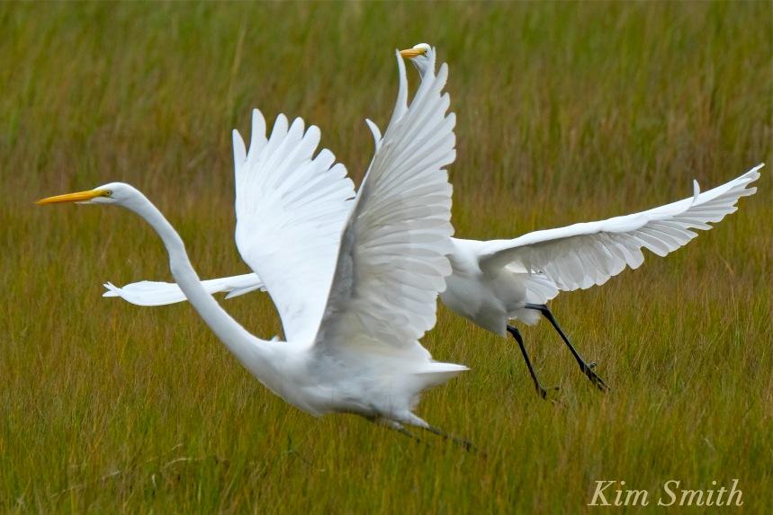 great-egret-battle-ardea-alba-2-copyright-kim-smith-copy