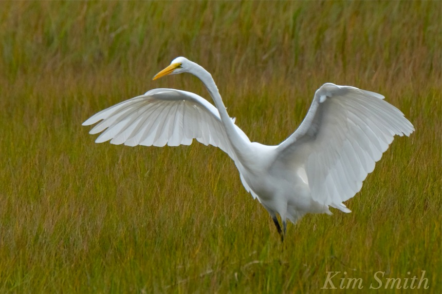 great-egret-battle-ardea-alba-4-copyright-kim-smith-copy