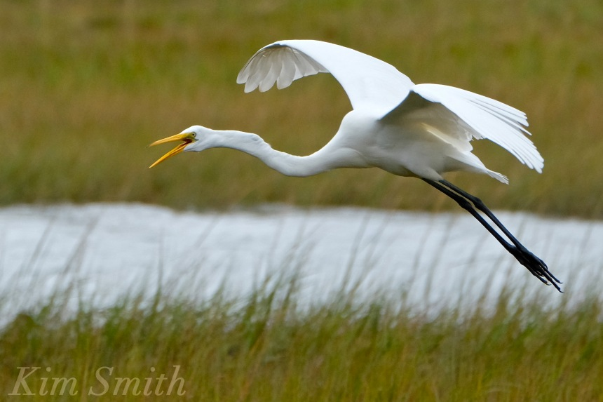 the great egret Egrets (three different ones) great egrets may be confused with the great white heron (see below), but that bird is a rare and local bird in southwest florida's gulf coast snowy egret the snowy egret can be immediately distinguished by its black bill.