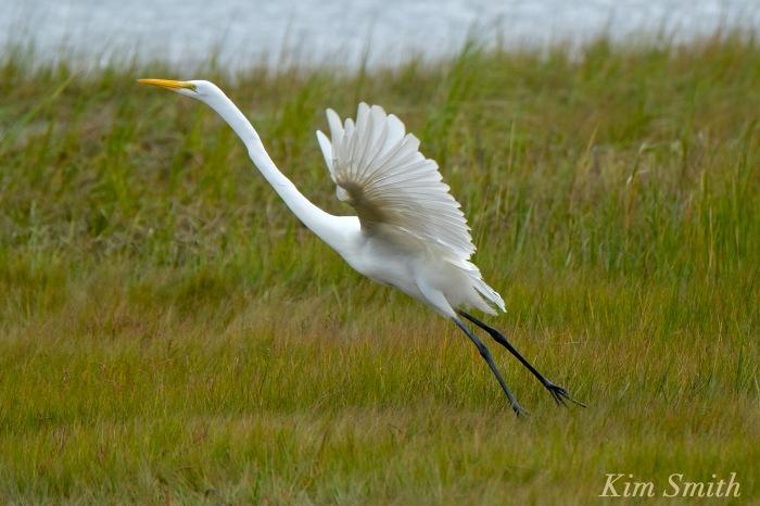 great-egret-battle-ardea-alba-6-copyright-kim-smith-copy