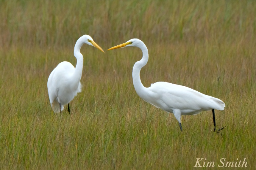 great-egret-battle-ardea-alba-copyright-kim-smith-copy