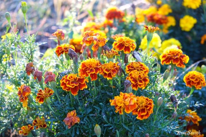 marigolds-cedar-rock-gardens-copyright-kim-smith