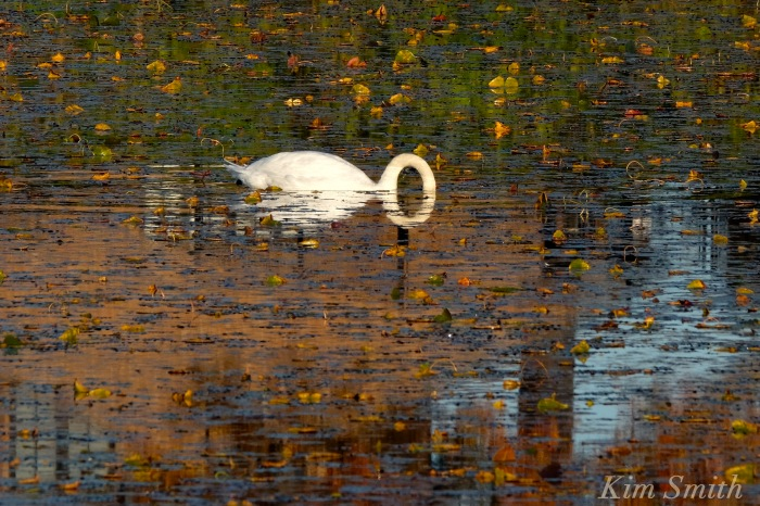 mr-swan-and-the-letter-o-copyright-kim-smith