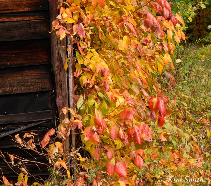 poison-ivy-in-autumn-toxicodendron-radicans-copyright-kim-smith