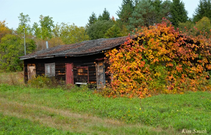 poison-ivy-vine-in-fall-toxicodendron-radicans-copyright-kim-smith
