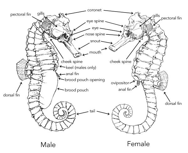 seahorse-anatomy-male-female