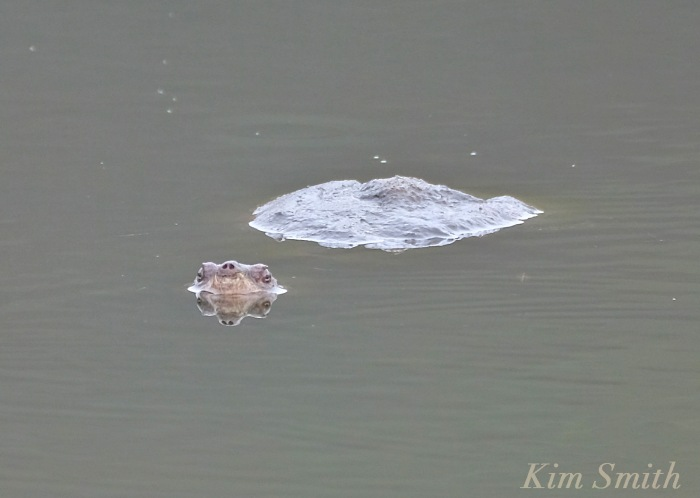 snapping-turtle-henrys-pond-copyright-kim-smith