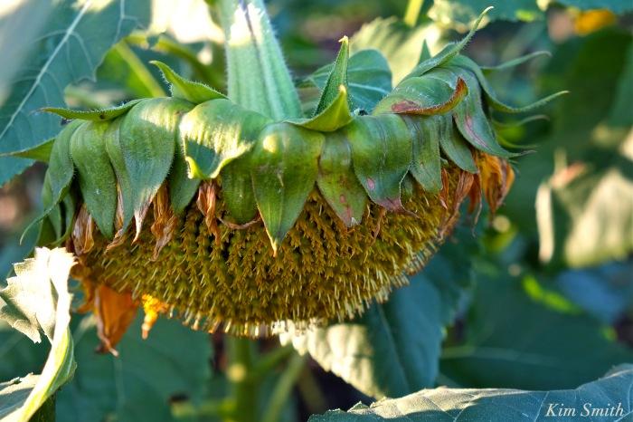 sunflower-seed-head-cedar-rock-gardens-copyright-kim-smith
