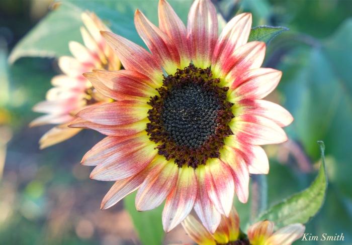 sunflowers-1-cedar-rock-gardens-copyright-kim-smith