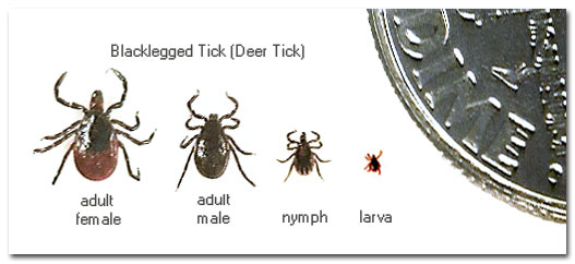 deer_tick_types