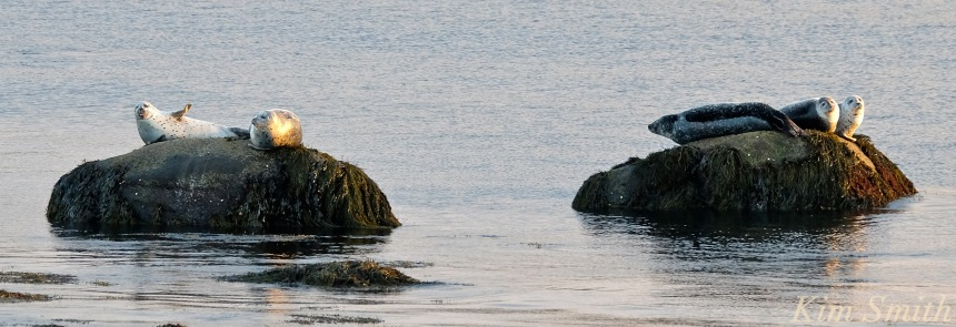 harbor-seals-brace-cove-gloucester-ma-copyright-kim-smith