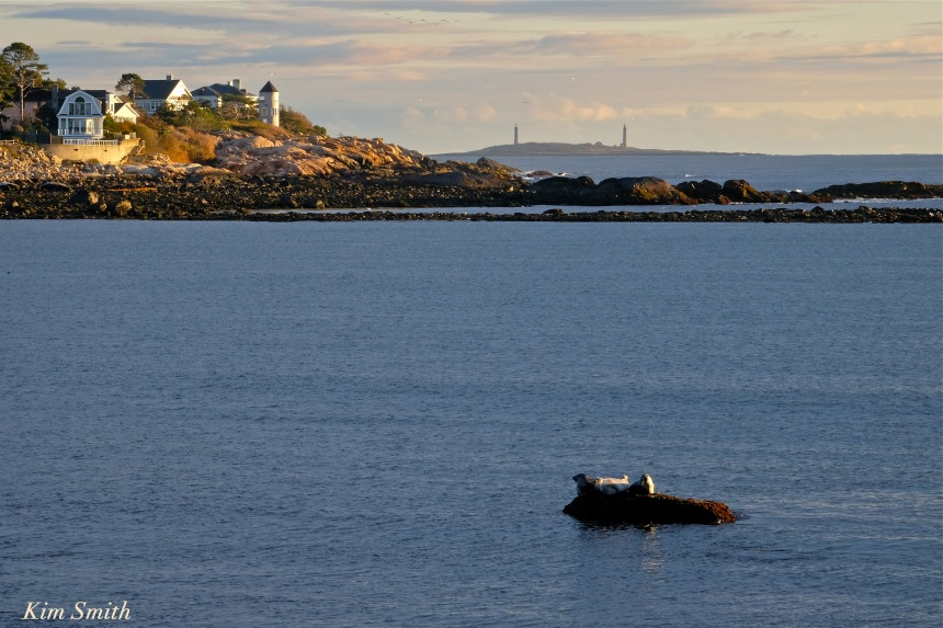 harbor-seals-brace-cove-twin-lights-copyright-kim-smith
