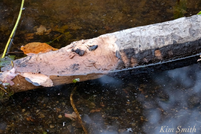 log-chewed-by-beaver-gloucester-massachusetts-copyright-kim-smith