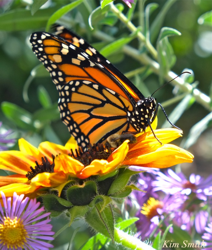 monarch-butterfly-and-bee-gloucester-ma-copyright-kim-smith