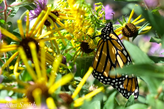 monarch-butterfly-gloucester-ma-2-copyright-kim-smith