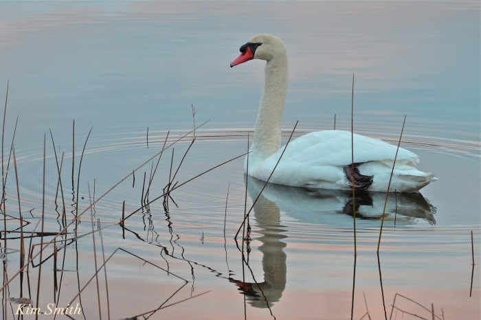 mr-swan-gloucester-cygnus-olor-niles-pond-copyright-kim-smith