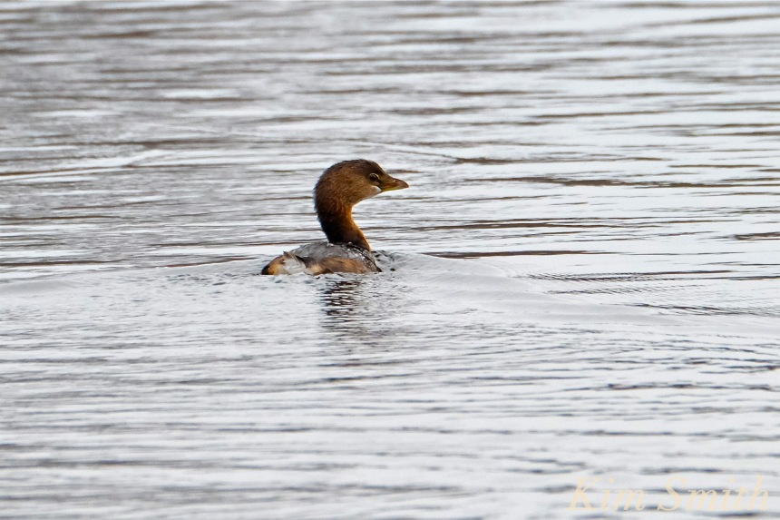 pied-billed-grebe-gloucester-ma-copyright-kim-smith