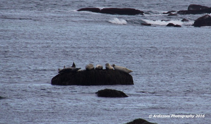 december-26-2016-the-life-of-seals-at-brace-cove