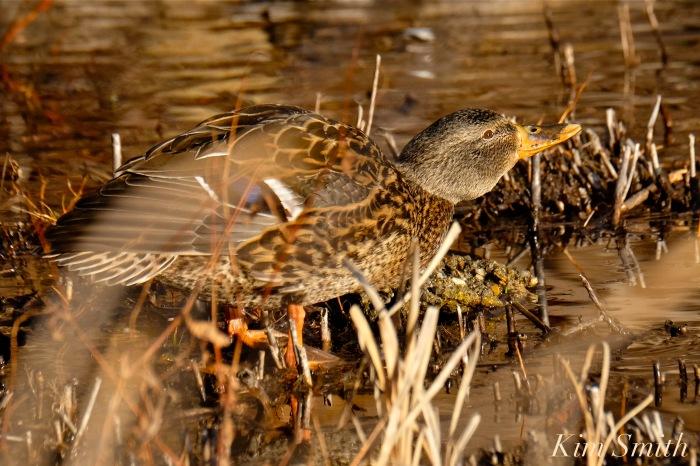 female-mallard-duck-copyright-kim-smith