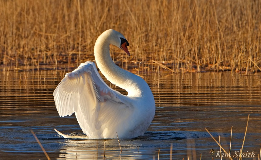 mute-swan-mr-swan-niles-pond-gloucester-ma-copyright-kim-smith