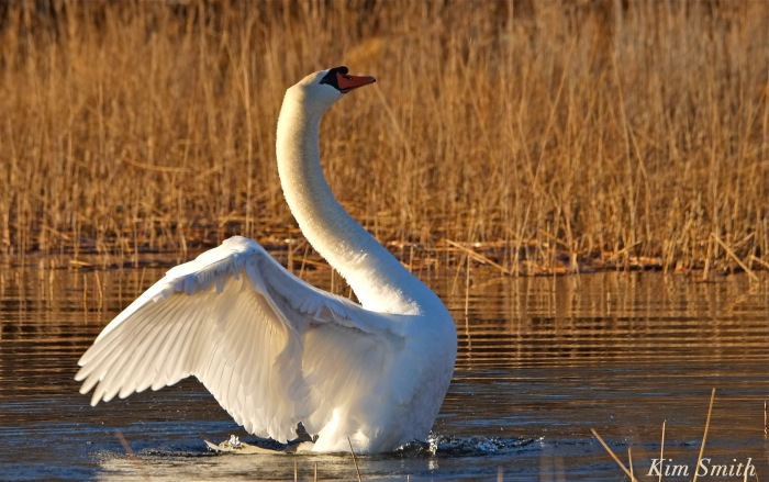 mute-swan-stretching-wings-niles-pond-gloucester-ma-copyright-kim-smith
