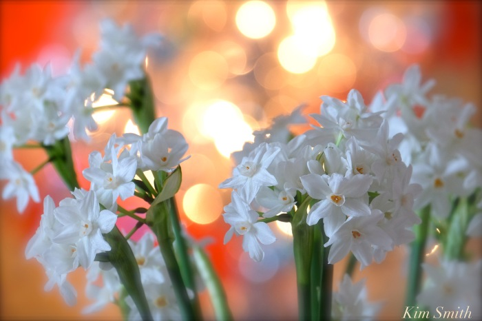 paperwhites-copyright-kim-smith