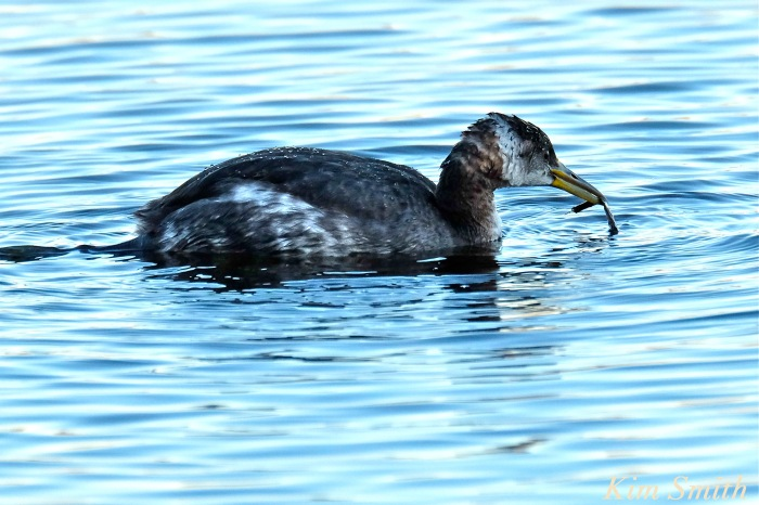 red-necked-grebe-niles-pond-gloucester-ma-1-copyright-kim-smith