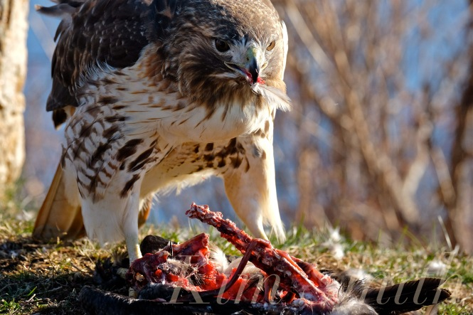 Red Tailed Hawks Eat Cats The Best Cat 2018