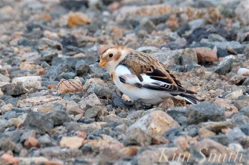 snow-bunting-cape-ann-massachusetts-2-copyright-kim-smith