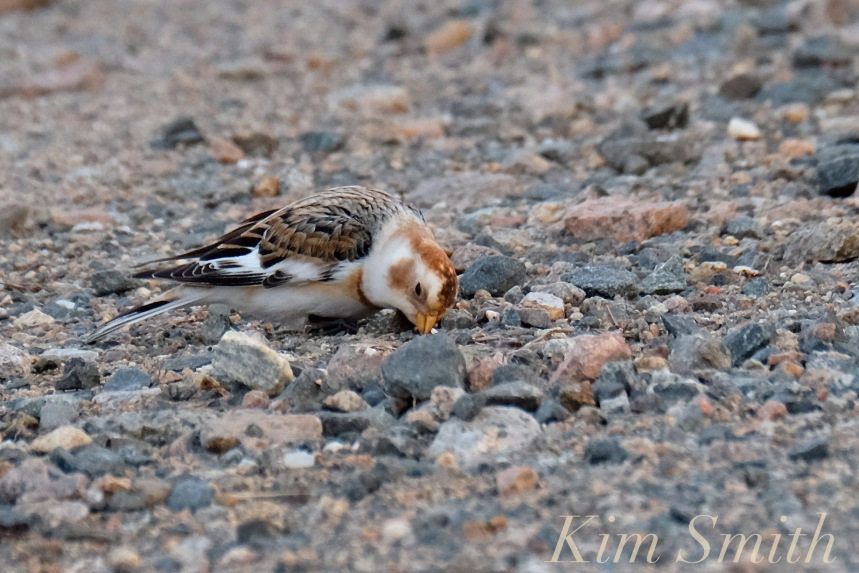 snow-bunting-cape-ann-massachusetts-3-copyright-kim-smith