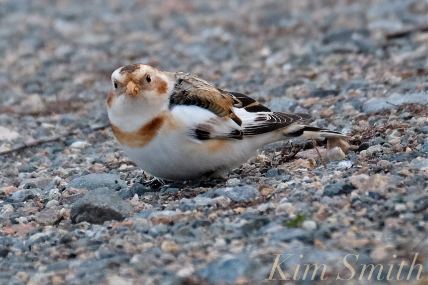 snow-bunting-cape-ann-massachusetts-4-copyright-kim-smith