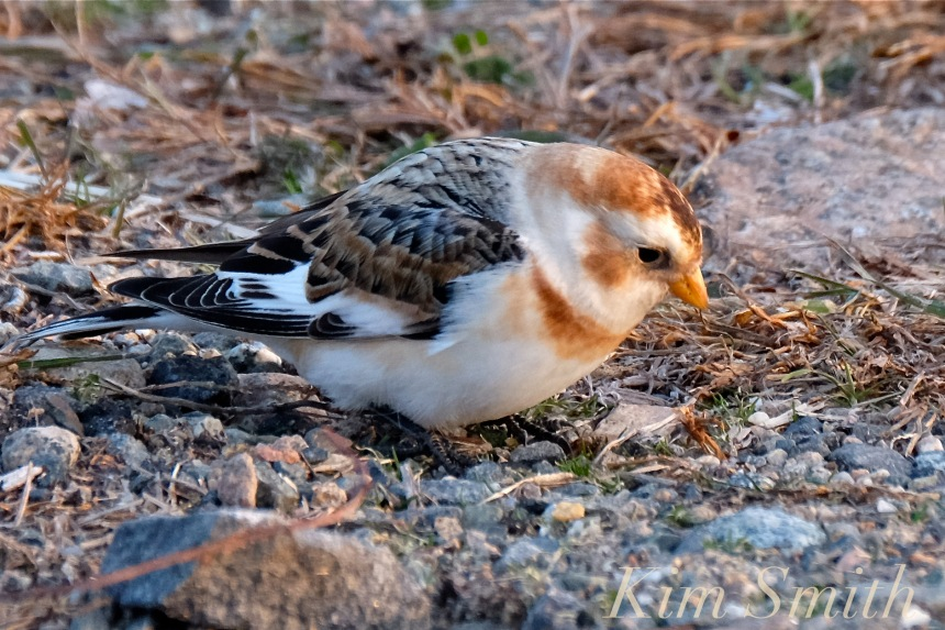 snow-bunting-cape-ann-massachusetts-6-copyright-kim-smith