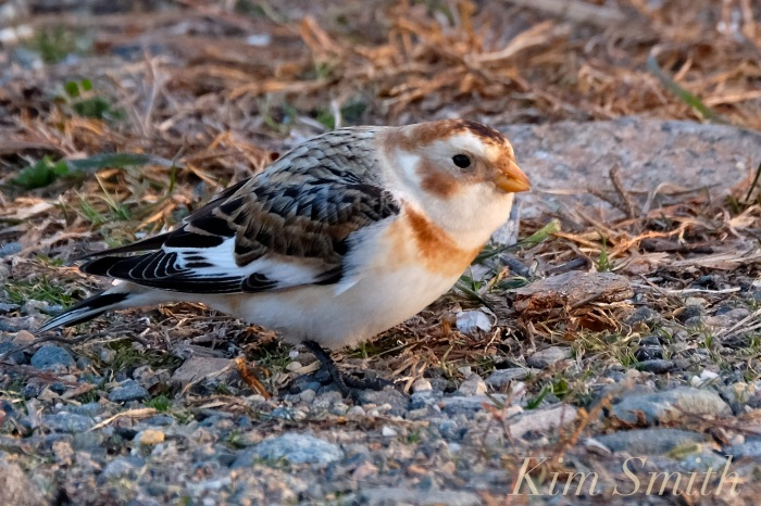 snow-bunting-cape-ann-massachusetts-7-copyright-kim-smith