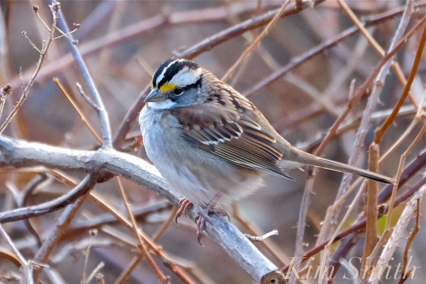 white-throated-sparrow-copyright-kim-smith