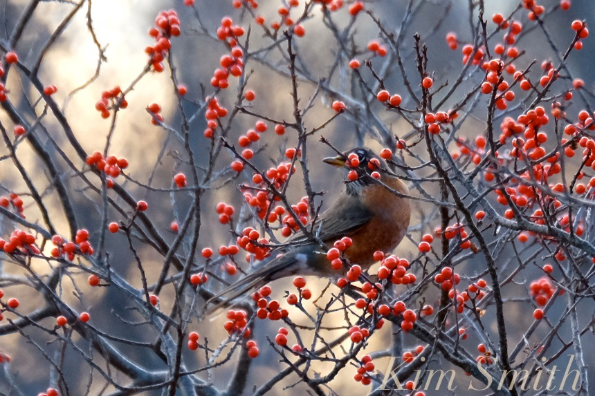 winterberry-robin-copyright-kim-smith