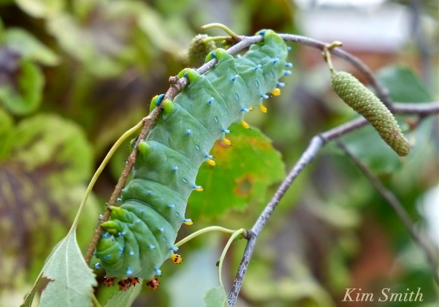 cecropia-moth-caterpillar-copyright-kim-smith