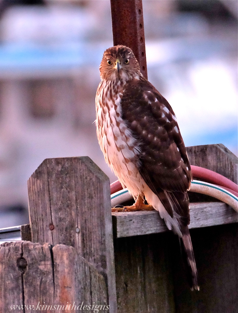 coopers-hawk-rockport-ma-www-kimsmithdesigns-com-2016