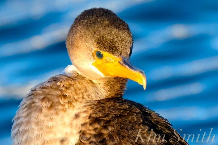 double-crested-cormorant-rockport-harbor-massachusetts-2-copyright-kim-smith