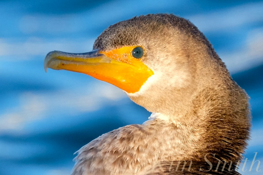 double-crested-cormorant-rockport-harbor-massachusetts-closeup-eye-copyright-kim-smith