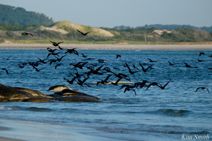 double-crested-cormorants-massing-essex-river-1-copyright-kim-smith