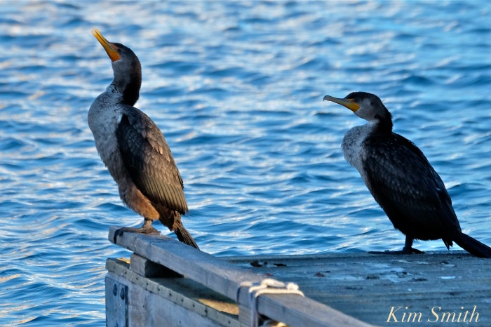 doublec-crested-cormorants-rockport-harbor