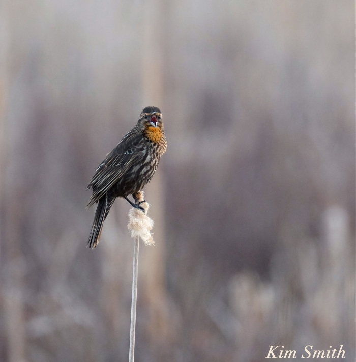 female-red-winged-blackbird-copyright-kim-smitrh