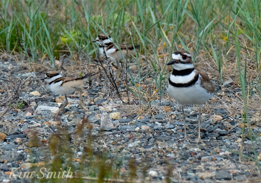 killdeer-chicks-good-harbor-beach-gloucester-massachusetts-copyright-kim-smith