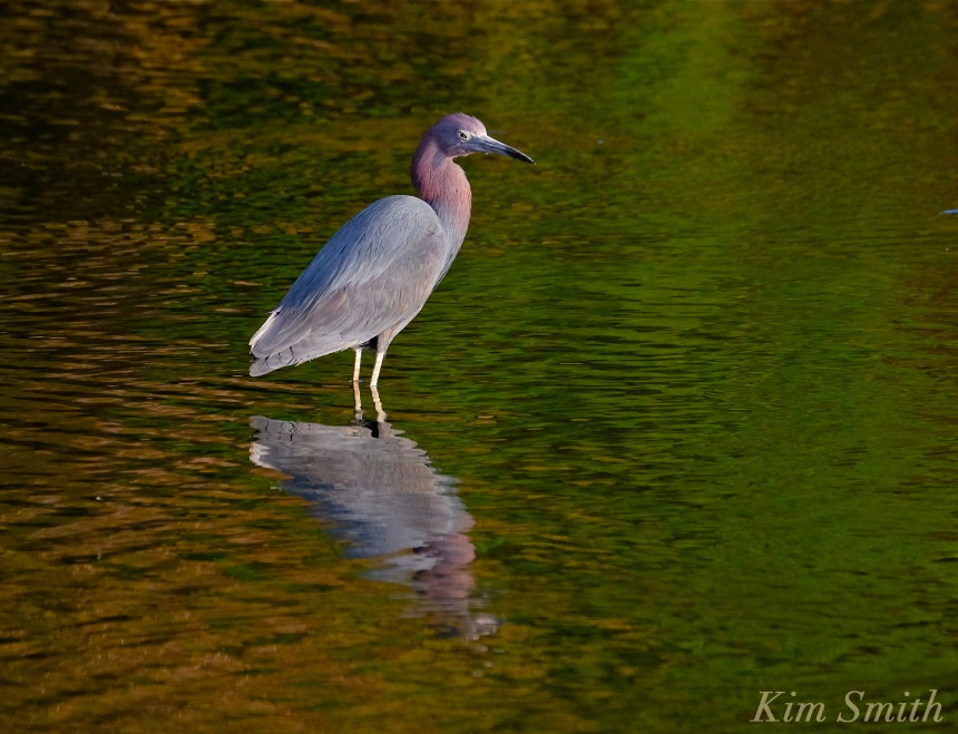 little-blue-heron-egretta-caerulea-cape-ann-copyright-kim-smith