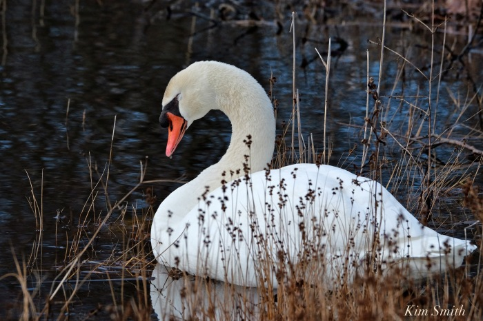 mr-swan-sleeping-2-copyright-kim-smith
