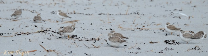 nine-piping-plovers-napping-gloucester-copyright-kim-smith