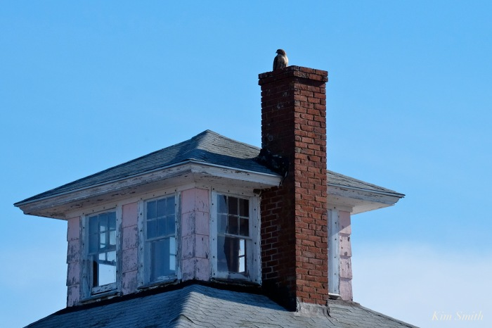 pink-house-newbury-plum-island-red-tailed-hawk-copyright-kim-smith