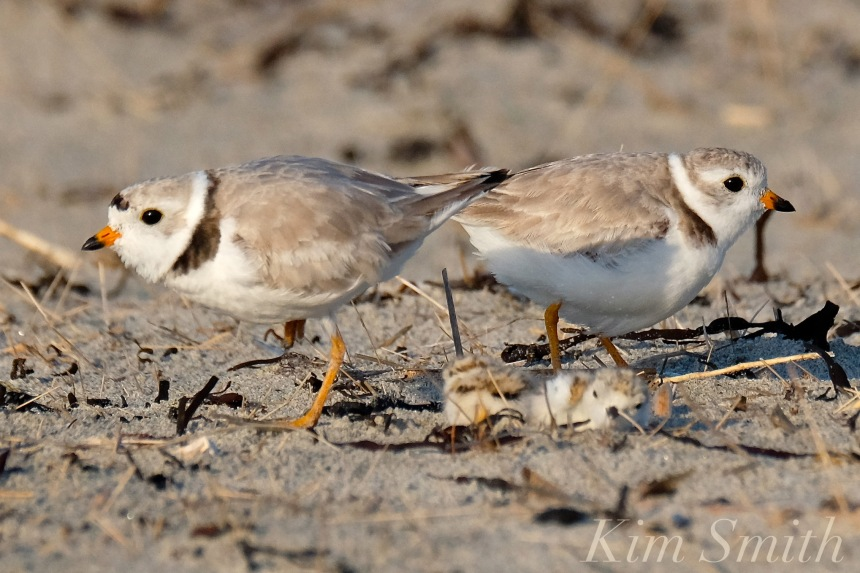 piping-plover-chicks-babies-nestlings-male-female-copyright-kim-smith