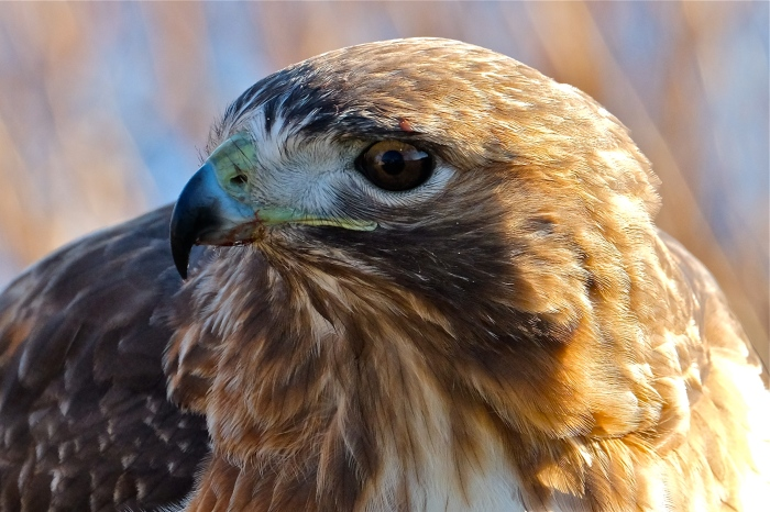 red-tailed-hawk-gloucester-massachusetts-copyright-kim-smith